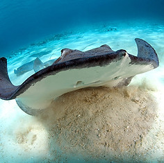 Grand-Cayman-Stingray.jpg