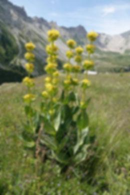 Gentiane jaune Dimitri Margerat