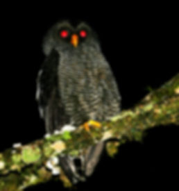 San Isidro Owl_001_VM - Copie.jpg