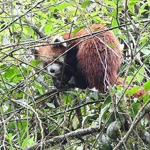 Panda roux.jpg