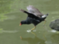 Gallinule poule d'eau ©Charles Lam Flick