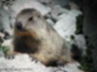 MAM marmotte.jpg