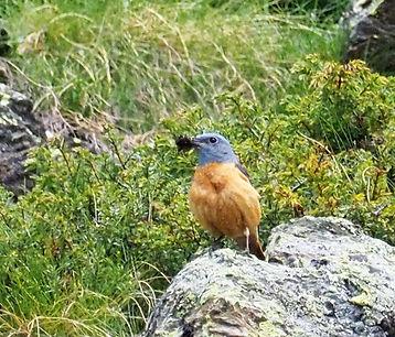 monticole roche JC Carrière rando oiseaux