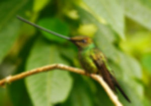 Sword-billed Hummingbird_003_VM - Copie.