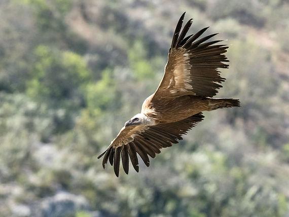 vautour fauve JC Carrière