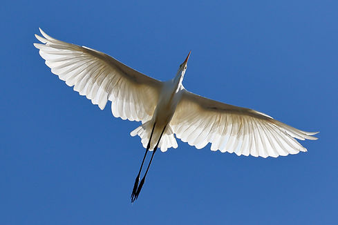 Grande aigrette © Ed Dunens Flickr
