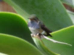 colibri flammule