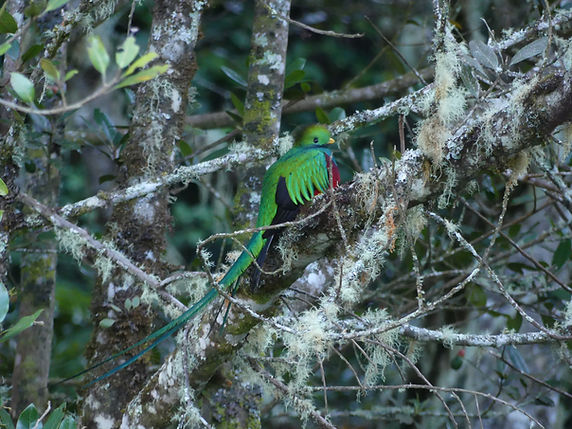 Quetzal resplendissant © Elie Dunand