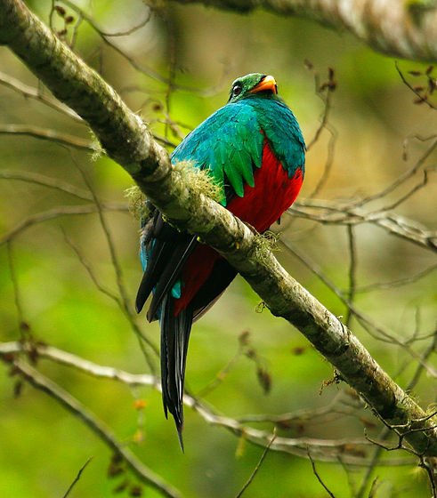 Golden-headed Quetzal_003_VM - Copie.jpg