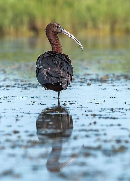 CAM ibis falcinelle JC Carrière
