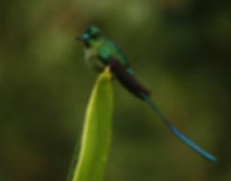 Long-tailed Sylph_003_VM - Copie.jpg