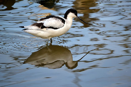 Avocette élégante © Tim Strater Flickr
