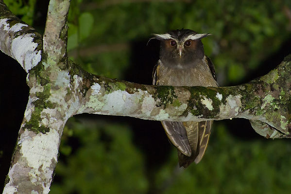 Crested owl © Joao Quental Flickr
