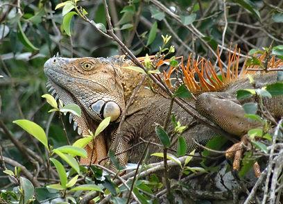 Iguane vert © D Marguerat