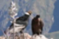 Condor des Andes 4. tjabeljan.jpg