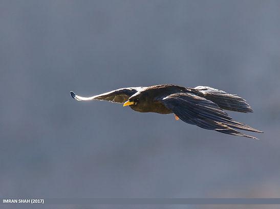 Chocard à bec jaune © Imran Shah Flickr