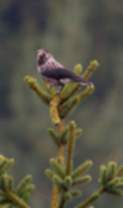 rando oiseaux cassenoix moucheté Frank Vassen Flickr