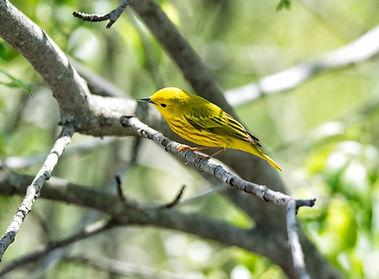 Paruline jaune © André Chivinski Flickr