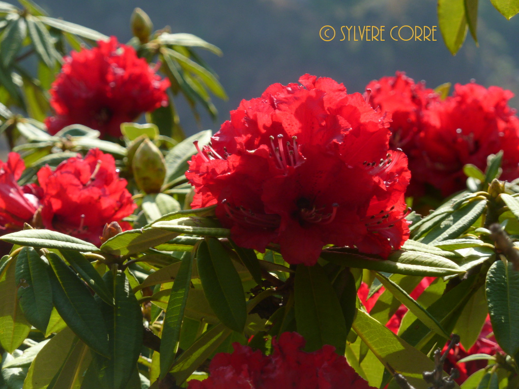 Rhododendron © Sylvère Corre