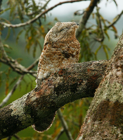 Great Potoo_001_VM.jpg