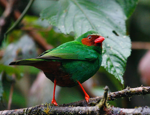 Grass Green Tanager_001_VM - Copie.jpg