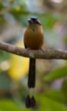 Motmot à tête bleue © Brian Gratwicke