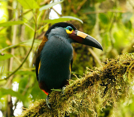 Plate-billed Mountain Toucan_002_VM - Co
