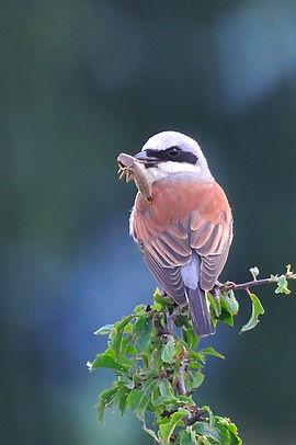pie-grièche écorcheur ©Sandra Flickr