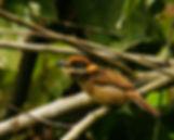 Chestnut-capped Puffbird_003_VM.jpg