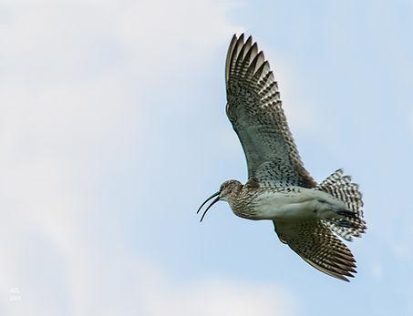 Courlis corlieu © Anita Ritenour Flickr