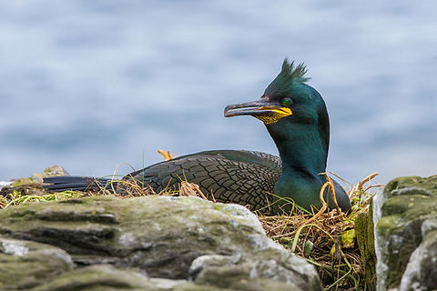 Cormoran huppé © Tony Flickr