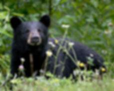 ours noir © Jitze Couperus Flickr