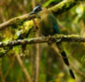 Andean Motmot_001_VM - Copie.jpg