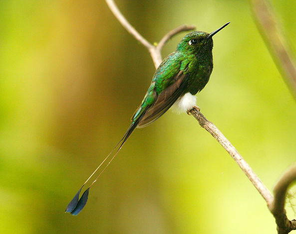 Booted Racket-tail_001_VM - Copie.jpg