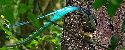 Quetzal resplendissant © JG Trussart