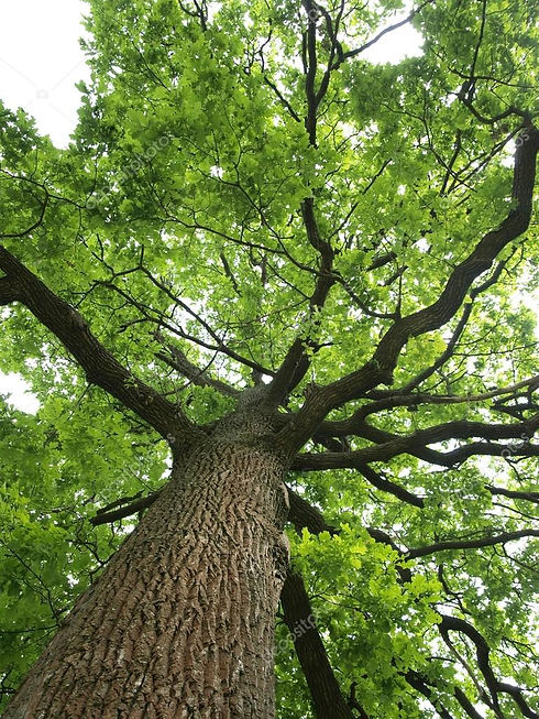depositphotos_11732608-stock-photo-green-oak-tree.jpg
