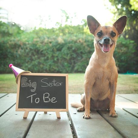 צילומי הריון בטבע עם כלבים