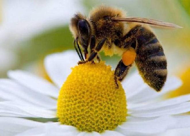 abeja en flor.jpg