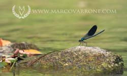 dragonfly_MG_8760.jpg
