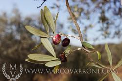 olive_fly_MG_9427ss.jpg