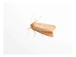Mythimna pallens, the common wainscot
