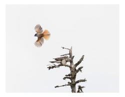 Hawk Owl and Siberian Jay