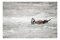 Harlequin Duck 002