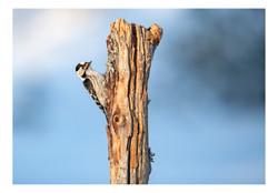 Lesser Spotted Woodpceker insta