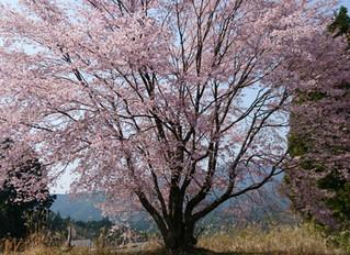 桜を見に行ってきた。