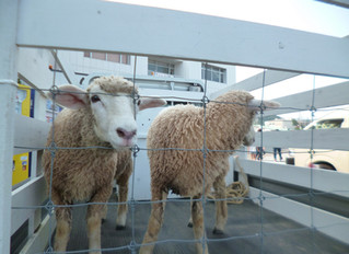 御浜町にあるひつじみかん牧場さんがたくさん来てくれます!!