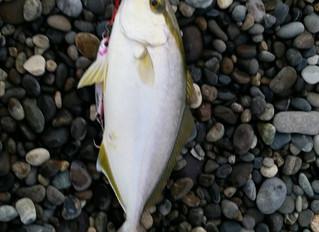 七里御浜で釣った魚
