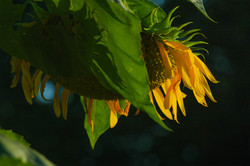Heavy Sunflower