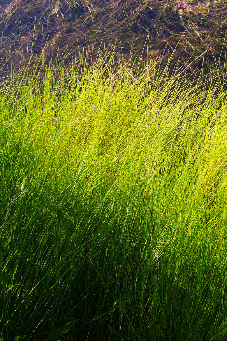 Lagoon Saw Grass