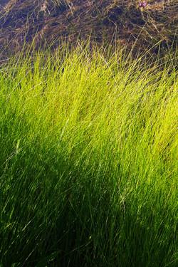 Lagoon Saw Grass